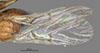 http://mczbase.mcz.harvard.edu/specimen_images/entomology/large/MCZ-ENT00013966_Cynips_quercus_lanigera_fwg.jpg