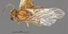 http://mczbase.mcz.harvard.edu/specimen_images/entomology/large/MCZ-ENT00013966_Cynips_quercus_lanigera_had.jpg