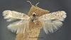 http://mczbase.mcz.harvard.edu/specimen_images/entomology/large/MCZ-ENT00014248_Trifurcula_obrutella_had.jpg