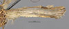 http://mczbase.mcz.harvard.edu/specimen_images/entomology/large/MCZ-ENT00014839_Atopsyche_bolivari_fwg.jpg