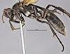 http://mczbase.mcz.harvard.edu/specimen_images/entomology/large/MCZ-ENT00015344_Priocnemis_Pompilidae_barbouri_hal.jpg