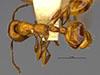 http://mczbase.mcz.harvard.edu/specimen_images/entomology/large/MCZ-ENT00016373_Myrmica_hunteri_hada.jpg