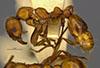 http://mczbase.mcz.harvard.edu/specimen_images/entomology/large/MCZ-ENT00016373_Myrmica_hunteri_hala.jpg