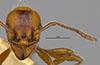 http://mczbase.mcz.harvard.edu/specimen_images/entomology/large/MCZ-ENT00016373_Myrmica_hunteri_hefa.jpg