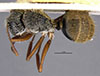 http://mczbase.mcz.harvard.edu/specimen_images/entomology/large/MCZ-ENT00017007_Camponotus_sphaericus_rufipilis_had.jpg