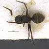 http://mczbase.mcz.harvard.edu/specimen_images/entomology/large/MCZ-ENT00017008_Camponotus_torrei_had.jpg