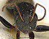 http://mczbase.mcz.harvard.edu/specimen_images/entomology/large/MCZ-ENT00017008_Camponotus_torrei_hef.jpg