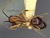 http://mczbase.mcz.harvard.edu/specimen_images/entomology/large/MCZ-ENT00017011_Camponotus_bermudezi_hada.jpg