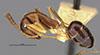 http://mczbase.mcz.harvard.edu/specimen_images/entomology/large/MCZ-ENT00017011_Camponotus_bermudezi_halb.jpg