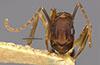 http://mczbase.mcz.harvard.edu/specimen_images/entomology/large/MCZ-ENT00017011_Camponotus_bermudezi_hefa.jpg