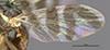 http://mczbase.mcz.harvard.edu/specimen_images/entomology/large/MCZ-ENT00017085_Rhagoletis_ribicola_fwg.jpg