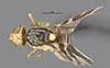 http://mczbase.mcz.harvard.edu/specimen_images/entomology/large/MCZ-ENT00017085_Rhagoletis_ribicola_had.jpg