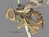 http://mczbase.mcz.harvard.edu/specimen_images/entomology/large/MCZ-ENT00017085_Rhagoletis_ribicola_hal.jpg