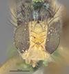 http://mczbase.mcz.harvard.edu/specimen_images/entomology/large/MCZ-ENT00017085_Rhagoletis_ribicola_hef.jpg