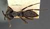 http://mczbase.mcz.harvard.edu/specimen_images/entomology/large/MCZ-ENT00020364_Mystrium_voeltzkowi_had.jpg