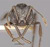 http://mczbase.mcz.harvard.edu/specimen_images/entomology/large/MCZ-ENT00020364_Mystrium_voeltzkowi_hef.jpg