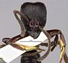 http://mczbase.mcz.harvard.edu/specimen_images/entomology/large/MCZ-ENT00020443_Pachycondyla_perrati_hef.jpg