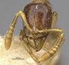 http://mczbase.mcz.harvard.edu/specimen_images/entomology/large/MCZ-ENT00020480_Ponera_mumfardi_hef.jpg