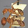http://mczbase.mcz.harvard.edu/specimen_images/entomology/large/MCZ-ENT00020580_Pogonomyrmex_occidentalis_var_utahensis_hal.jpg