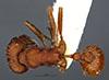 http://mczbase.mcz.harvard.edu/specimen_images/entomology/large/MCZ-ENT00020584_Pogonomyrmex_salinus_had.jpg