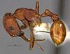 http://mczbase.mcz.harvard.edu/specimen_images/entomology/large/MCZ-ENT00020584_Pogonomyrmex_salinus_hal.jpg