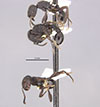 http://mczbase.mcz.harvard.edu/specimen_images/entomology/large/MCZ-ENT00020591_Pogonomyrmex_schmittii_aterrimus_hala.jpg