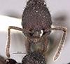 http://mczbase.mcz.harvard.edu/specimen_images/entomology/large/MCZ-ENT00020591_Pogonomyrmex_schmittii_aterrimus_hef.jpg