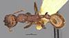 http://mczbase.mcz.harvard.edu/specimen_images/entomology/large/MCZ-ENT00020603_Aphaenogaster_lamellidens_var_nigripes_hada.jpg