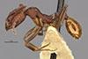 http://mczbase.mcz.harvard.edu/specimen_images/entomology/large/MCZ-ENT00020603_Aphaenogaster_lamellidens_var_nigripes_hala.jpg