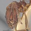 http://mczbase.mcz.harvard.edu/specimen_images/entomology/large/MCZ-ENT00020603_Aphaenogaster_lamellidens_var_nigripes_hefa.jpg