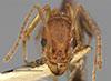 http://mczbase.mcz.harvard.edu/specimen_images/entomology/large/MCZ-ENT00020612_Aphaenogaster_treatae_harnedi_hefa.jpg