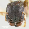 Media of type image, MCZ:Ent:20643 Identified as Pheidole sexspinosa type status Syntype of Pheidole sexspinosa adamsoni. . Aspect: head frontal view