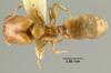 Media of type image, MCZ:Ent:20655 Identified as Pheidole strator type status Syntype of Pheidole strator. . Aspect: habitus dorsal view