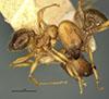 Media of type image, MCZ:Ent:20658 Identified as Pheidole funkikoensis type status Syntype of Pheidole funkikoensis. . Aspect: habitus lateral view