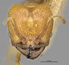 http://mczbase.mcz.harvard.edu/specimen_images/entomology/large/MCZ-ENT00020658_Pheidole_funkiksensis_hef.jpg