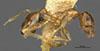 Media of type image, MCZ:Ent:20660 Identified as Pheidole lamellinoda type status Syntype of Pheidole lamellinoda. . Aspect: habitus lateral view
