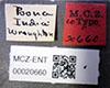http://mczbase.mcz.harvard.edu/specimen_images/entomology/large/MCZ-ENT00020660_Pheidole_lamellineoda_lbs.jpg