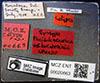 http://mczbase.mcz.harvard.edu/specimen_images/entomology/large/MCZ-ENT00020663_Pheidole_oceanica_var_boraborensis_lbs.jpg
