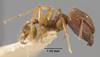 Media of type image, MCZ:Ent:20665 Identified as Pheidole indosinensis type status Syntype of Pheidole sulcaticeps indosinensis. . Aspect: habitus lateral view