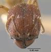 Media of type image, MCZ:Ent:20665 Identified as Pheidole indosinensis type status Syntype of Pheidole sulcaticeps indosinensis. . Aspect: head frontal view