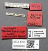 Media of type image, MCZ:Ent:20665 Identified as Pheidole indosinensis type status Syntype of Pheidole sulcaticeps indosinensis. . Aspect: labels