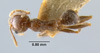Media of type image, MCZ:Ent:20666 Identified as Pheidole sykesii type status Syntype of Pheidole sykesii. . Aspect: habitus dorsal view