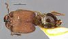 http://mczbase.mcz.harvard.edu/specimen_images/entomology/large/MCZ-ENT00020667_Pheidole_wroughtoni_had.jpg