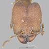 http://mczbase.mcz.harvard.edu/specimen_images/entomology/large/MCZ-ENT00020667_Pheidole_wroughtoni_hef.jpg