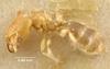 Media of type image, MCZ:Ent:20671 Identified as Pheidole sauteri type status Syntype of Pheidole sauteri. . Aspect: habitus lateral view