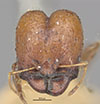 http://mczbase.mcz.harvard.edu/specimen_images/entomology/large/MCZ-ENT00020672_Pheidole_ampla_perthensis_hef.jpg