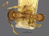 Media of type image, MCZ:Ent:20677 Identified as Pheidole platypus type status Syntype of Pheidole platypus. . Aspect: habitus dorsal view