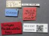 Media of type image, MCZ:Ent:20678 Identified as Pheidole wiesei type status Syntype of Pheidole wiesei. . Aspect: labels