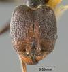 Media of type image, MCZ:Ent:20681 Identified as Pheidole susannae type status Syntype of Pheidole susannae r. atricolor. . Aspect: head frontal view
