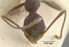 Media of type image, MCZ:Ent:20682 Identified as Pheidole tolteca type status Syntype of Pheidole tolteca. . Aspect: head frontal view